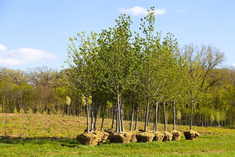 Засаживать деревьев стоковое фото rf