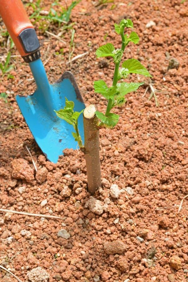 Засаживать или дерево завода молодое малое в домашнем саде стоковые фотографии rf