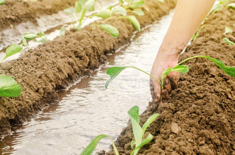 Засаживать капусту саженцев в поле и естественном мочить/поливе Растя органические овощи дружественные к Эко продукты стоковое фото