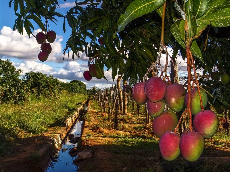 Засаживать манго стоковые изображения