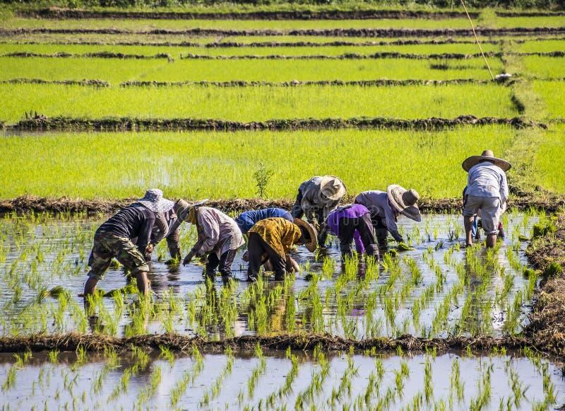 засаживать рис стоковые изображения