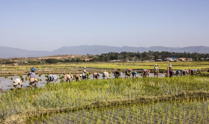 засаживать рис стоковое фото