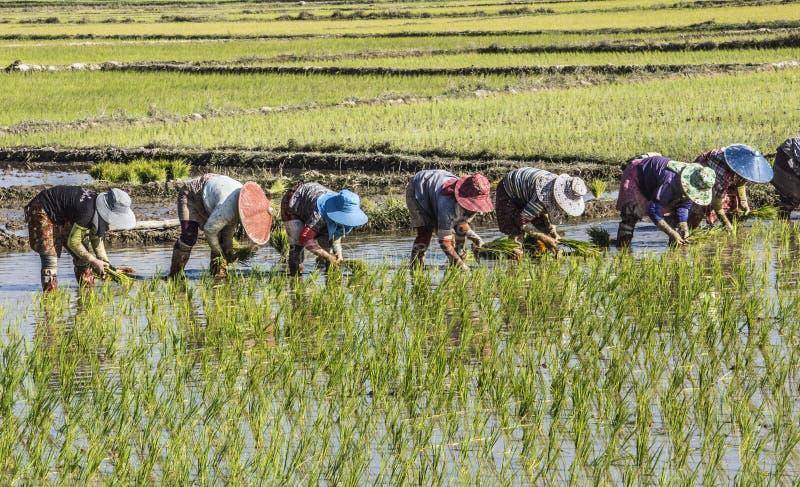 засаживать рис стоковые изображения rf