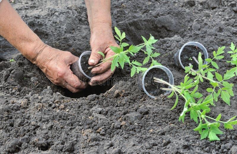 Засаживать сец томатов стоковое фото