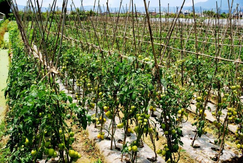 засаживать томаты стоковое изображение rf