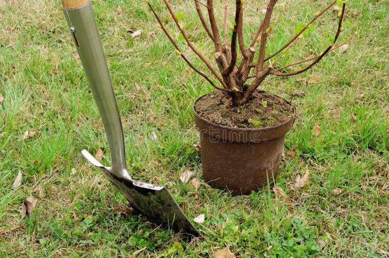 Засаживать shrub стоковые фотографии rf