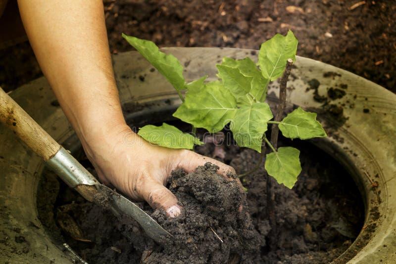 Засаживающ молодое дерево садовниками руки ` s человека, который нужно засадить в t стоковое изображение rf