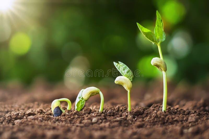 засаживающ семя вырастите концепция шага в саде и солнечном свете идея земледелия стоковые изображения rf