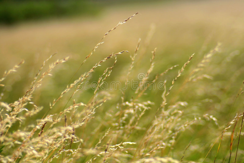 засевает ветер травой лета стоковое фото rf