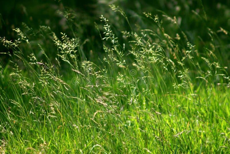 засевает лето травой стоковое фото rf
