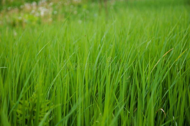 Засевайте зеленые свежие заводы травой sward лужайки стоковые фото