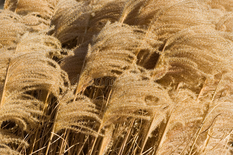 засевайте развевать травой стоковые фотографии rf