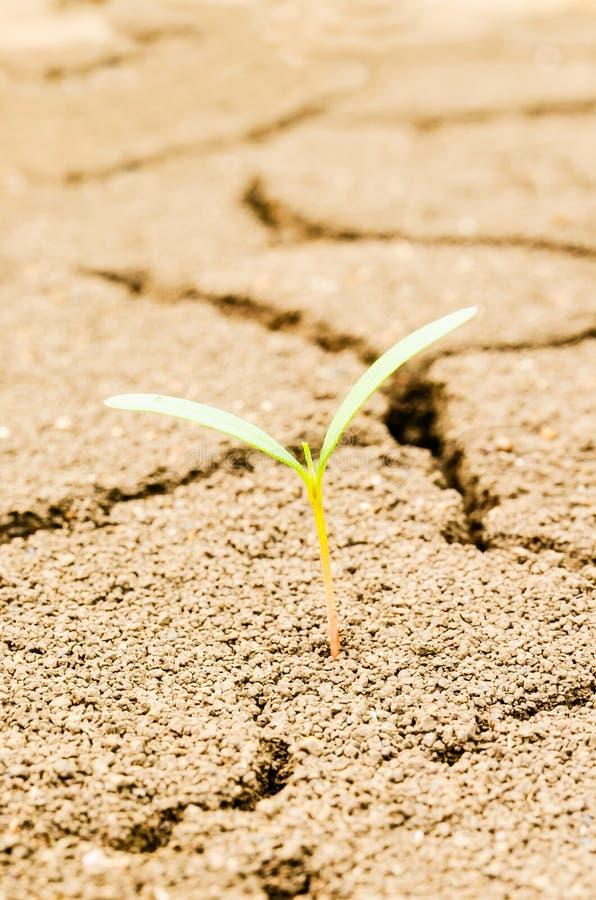 Засевайте расти травой на поле засухи, земле засухи стоковые фотографии rf