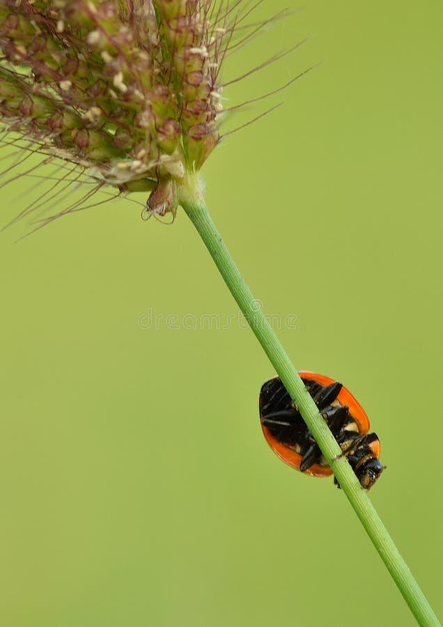 засевайте ladybug травой стоковая фотография