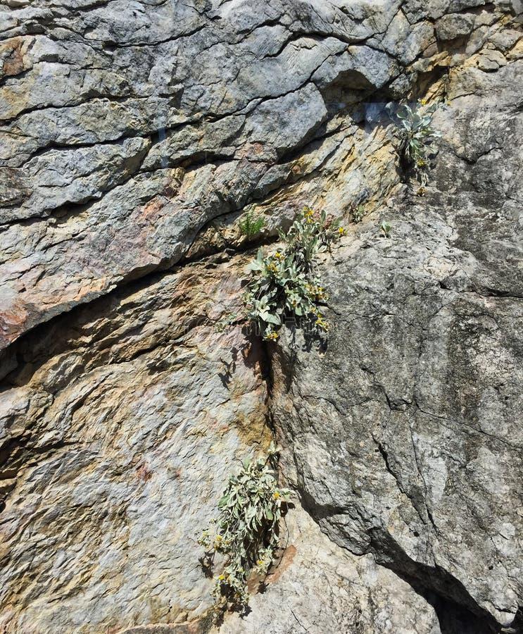 Засорители растя в Crevice стороны утеса стоковая фотография rf