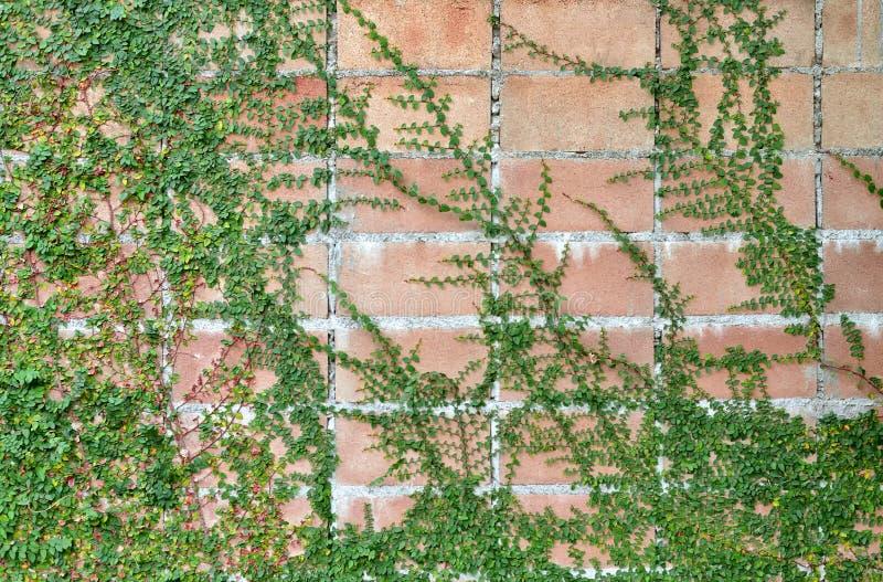 Засоритель на старой кирпичной стене стоковое фото