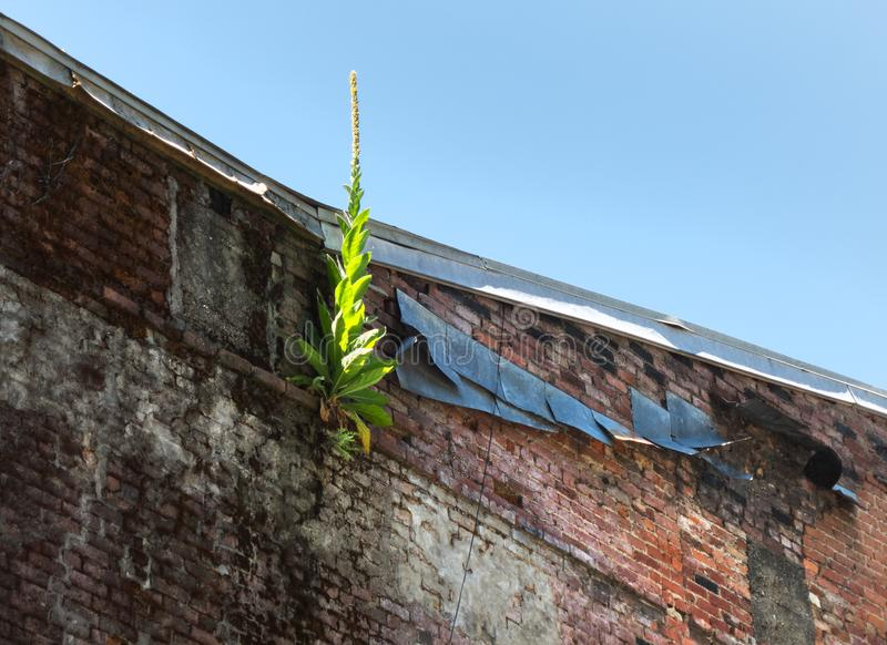 Засоритель растет от старой кирпичной стены стоковые изображения