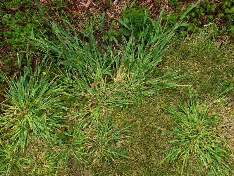 Засоритель Crabgrass стоковое фото rf