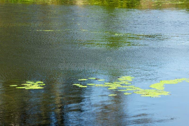 Засорители и тростники pond, озеро или река стоковое изображение
