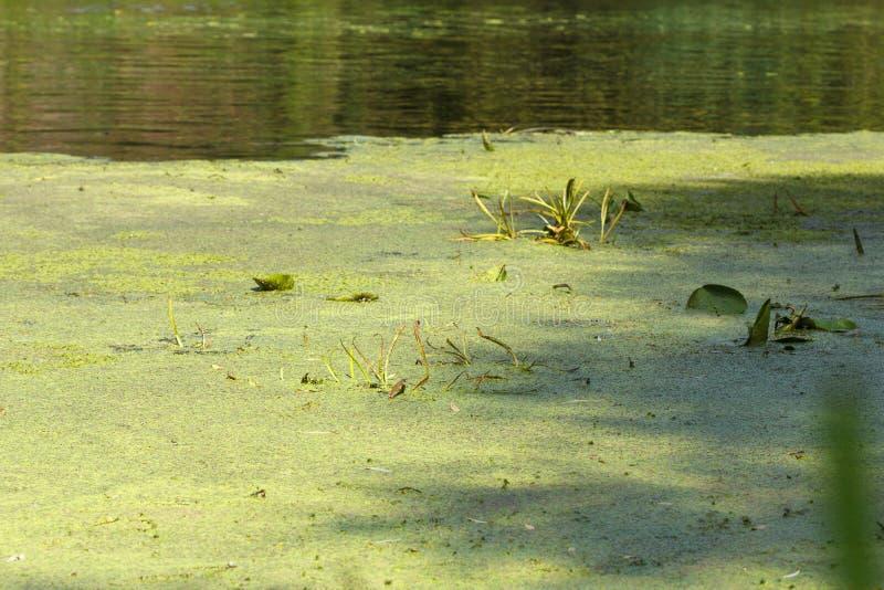 Засорители и тростники pond, озеро или река стоковые изображения rf