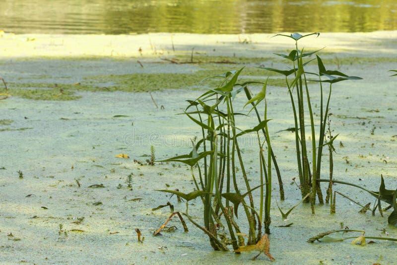 Засорители и тростники pond, озеро или река стоковое фото