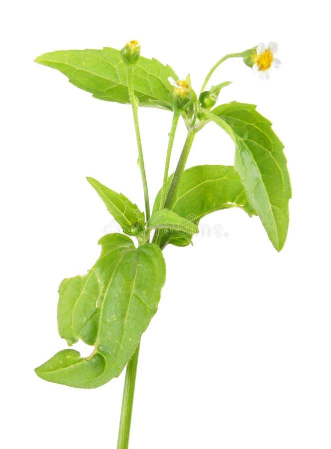 Засоритель Galinsoga или картошки или parviflora Galinsoga изолированное на белой предпосылке лекарственное растение стоковая фотография rf