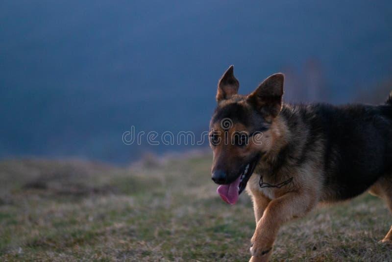 Застенчивая собака идя в горы стоковые фото
