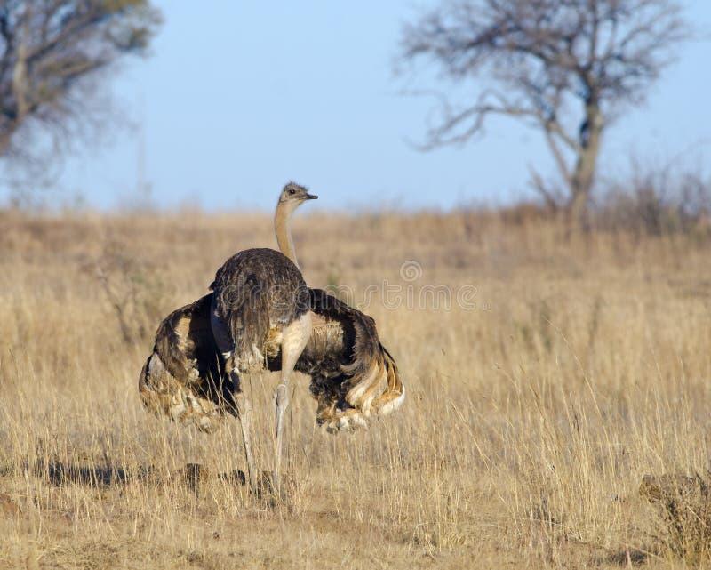 Застенчивый женский страус стоковые фото