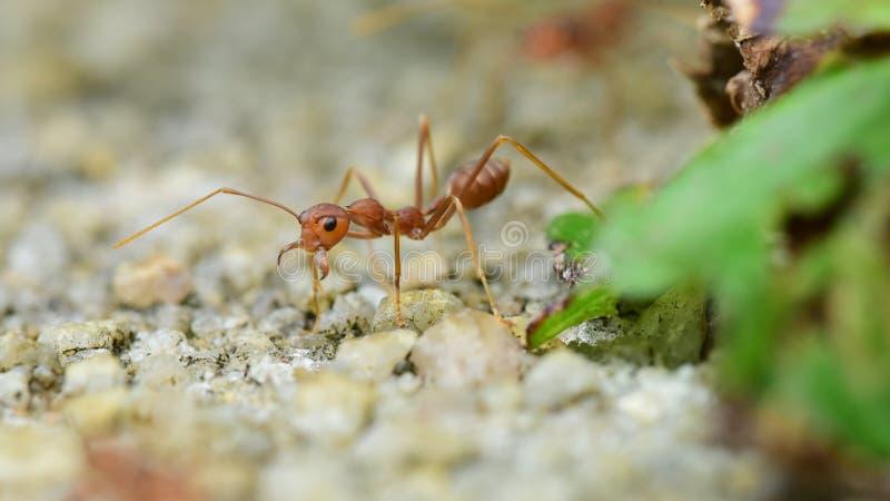 Застенчивый муравей стоковые фото