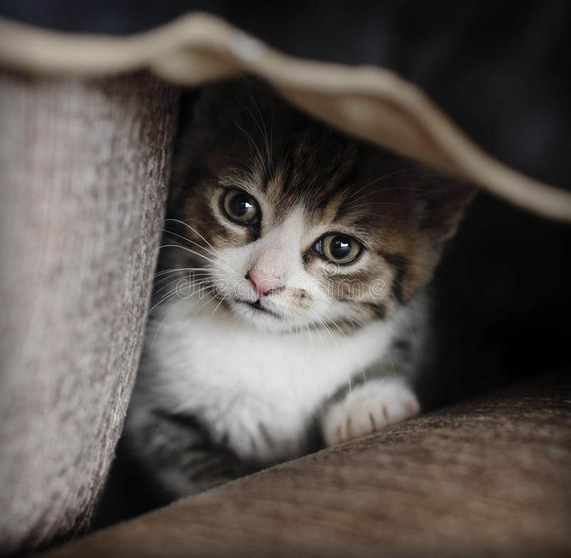 Застенчивый прятать котенка
