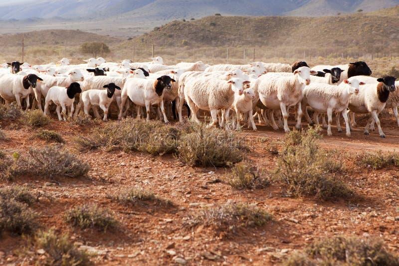 засушливый гулять овец стаи страны стоковое изображение rf