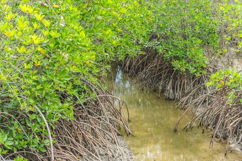 Затопленные деревья в провинции Phetchaburi леса мангровы Таиланд стоковая фотография rf