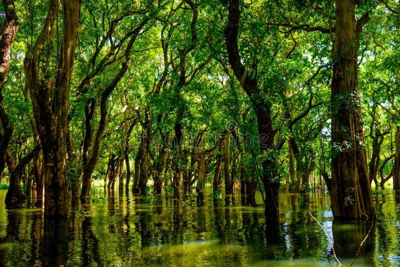 Затопленные деревья в Kampong Phluk дождевого леса мангровы Камбоджа стоковые изображения rf