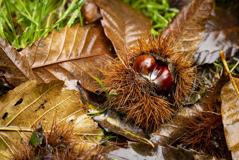 Заусенец сладкого каштана - Castanea sativa стоковое фото rf
