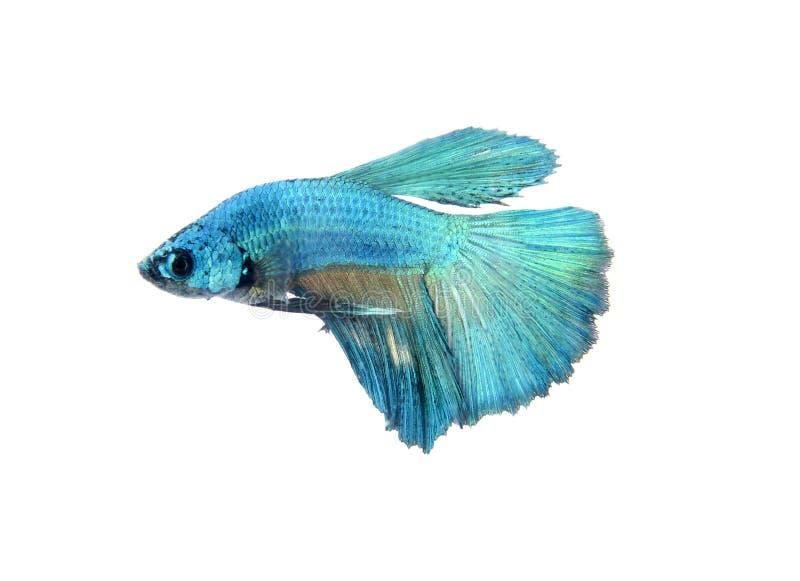 Захватите moving момент рыб большого уха сиамских воюя изолированных на белой предпосылке, Betta стоковые изображения rf