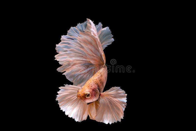Захватите moving момент isola рыб большого уха сиамского воюя стоковое изображение rf