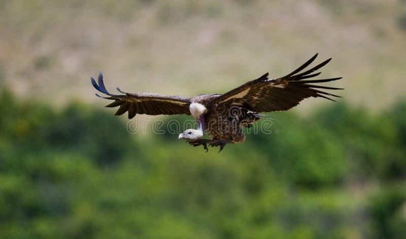 Захватнические птицы в полете Кения Танзания стоковые изображения rf