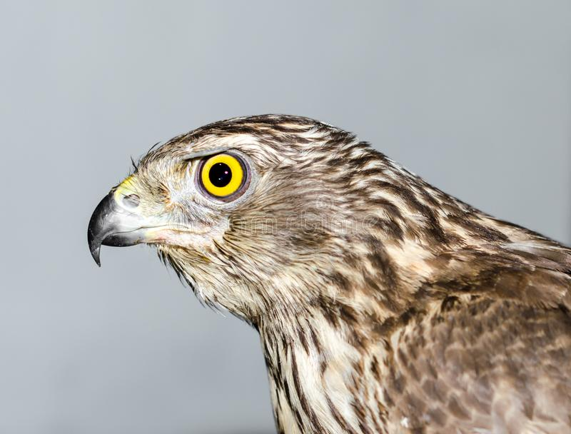 Захватнический хоук птицы с ярким желтым концом-вверх глаза на сером ба стоковые фотографии rf