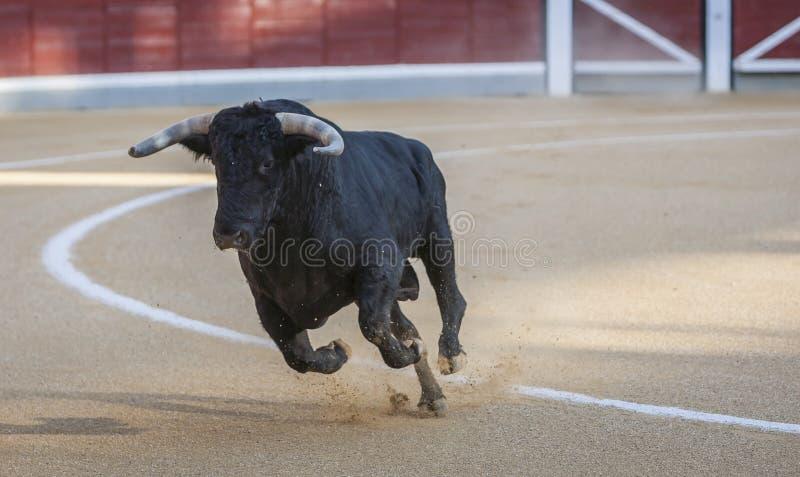 Захват диаграммы храброго быка в бое быков стоковое фото