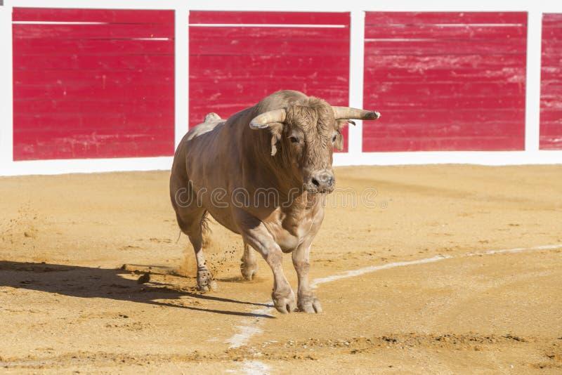 Захват диаграммы храброго быка в бое быков стоковые фото