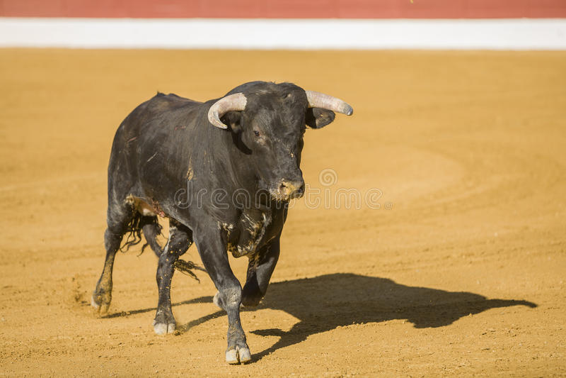 Захват диаграммы храброго быка в бое быков стоковая фотография
