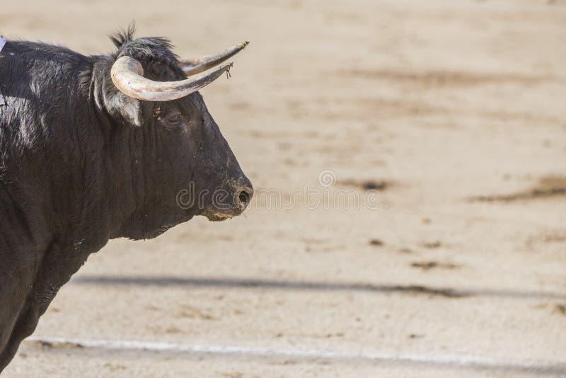 Захват диаграммы храброго быка черноты волос стоковые фотографии rf