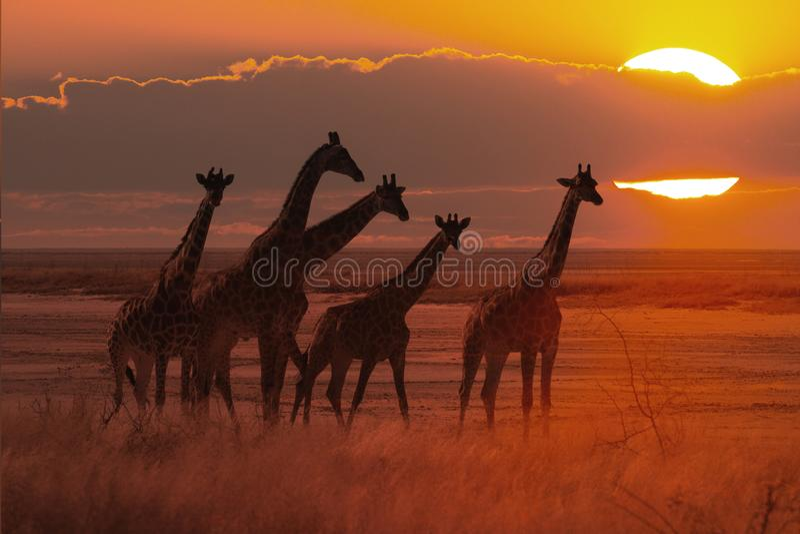 Заход солнца в африканской саванне с табуном жирафа стоковая фотография