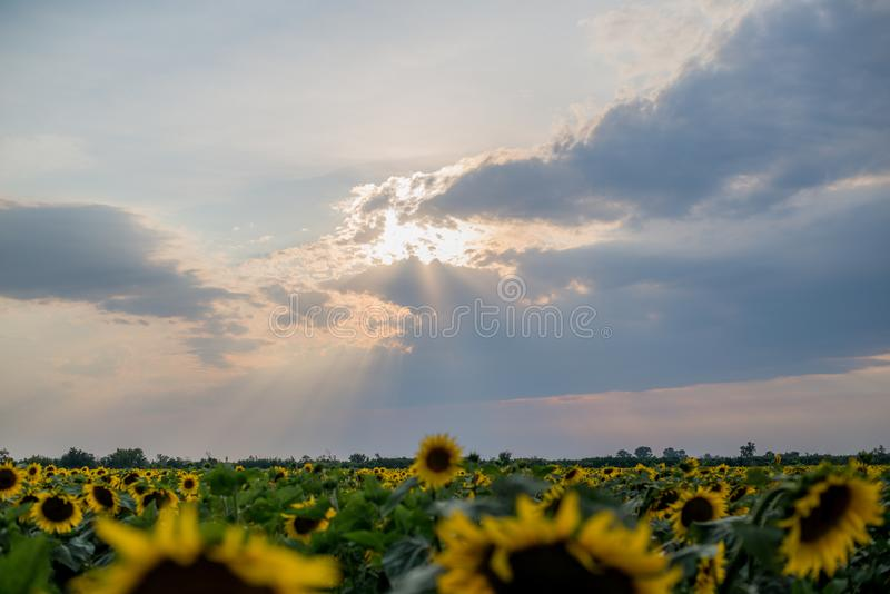 Заход солнца в облачном небе над зацветая солнцецветами field стоковая фотография