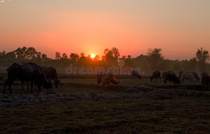 Заход солнца в поле с буйволами пася, северном восточном Таиланде страны, Азии стоковые изображения rf