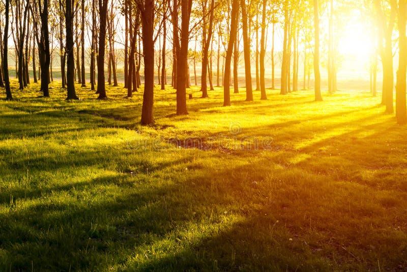 Заход солнца в светах и тенях леса в лесе на заходе солнца стоковое фото rf