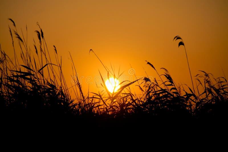 Заход солнца над камышовым полем в danubian перепаде стоковые изображения rf