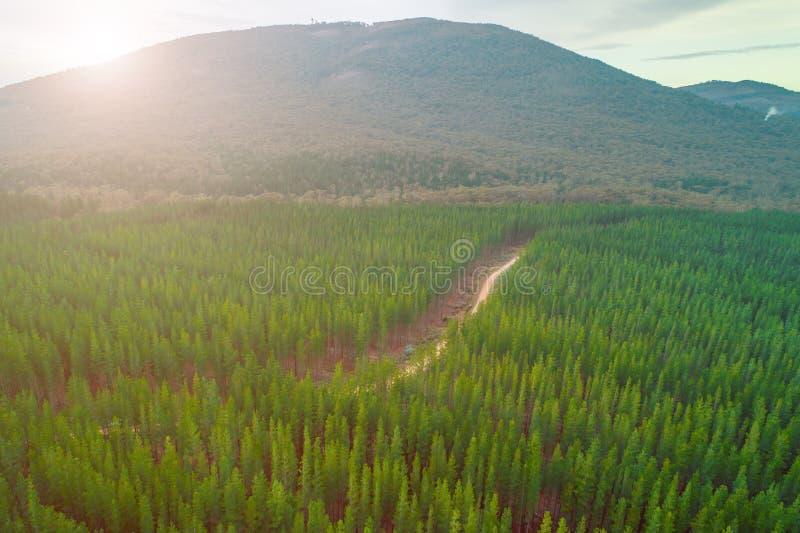 Заход солнца над лесом сосен и большим холмом стоковые изображения