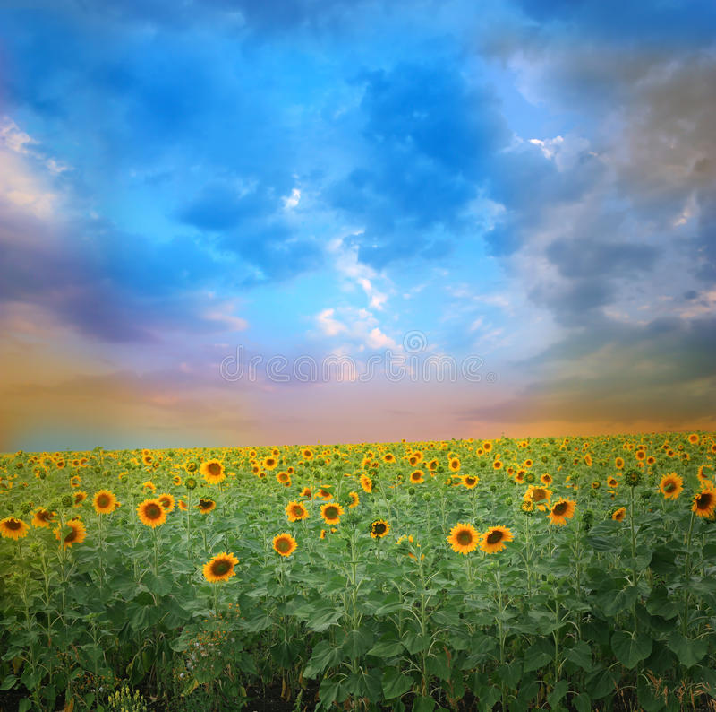 Заход солнца над полем солнцецветов стоковые изображения rf