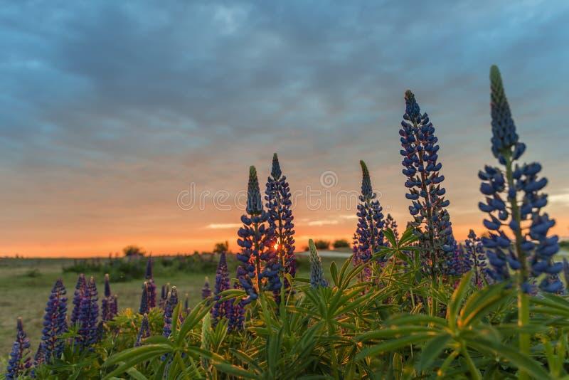 Заход солнца над полем с голубыми цветками и зелеными листьями на переднем плане стоковая фотография rf